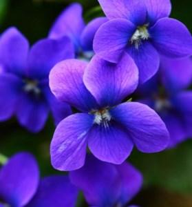 Violet May  English